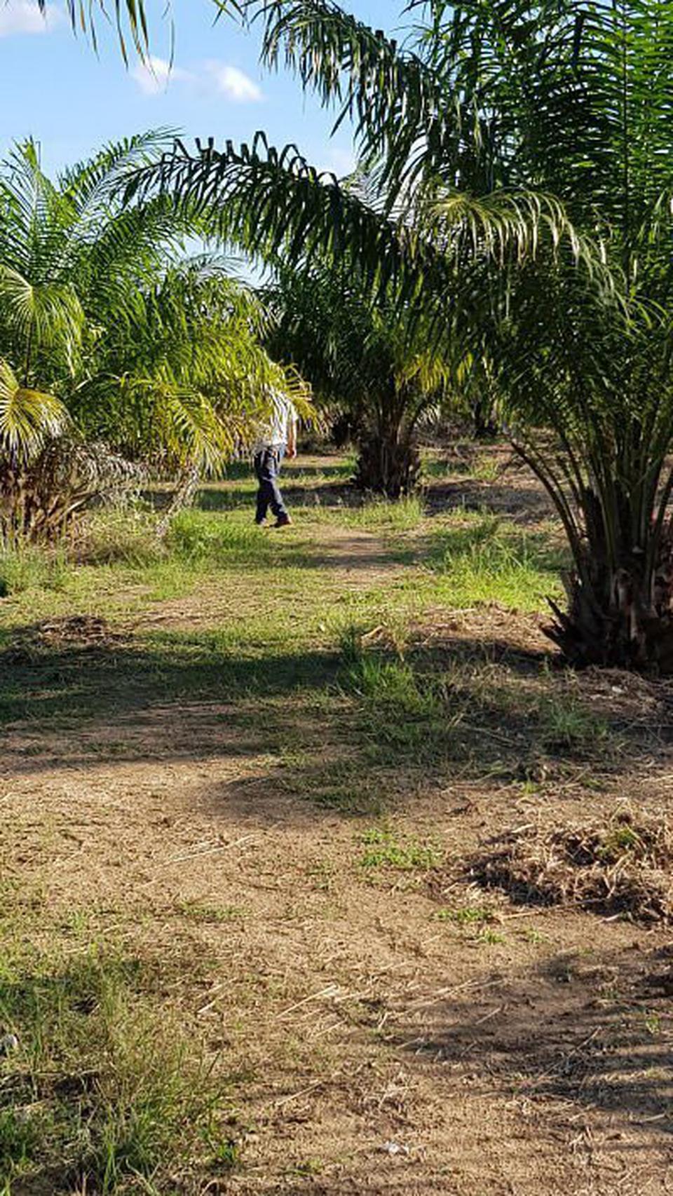 ขายสวนปาล์ม อายุ 5 ปีพร้อมสวนเกษตรผสม ร่มรื่น รูปที่ 3