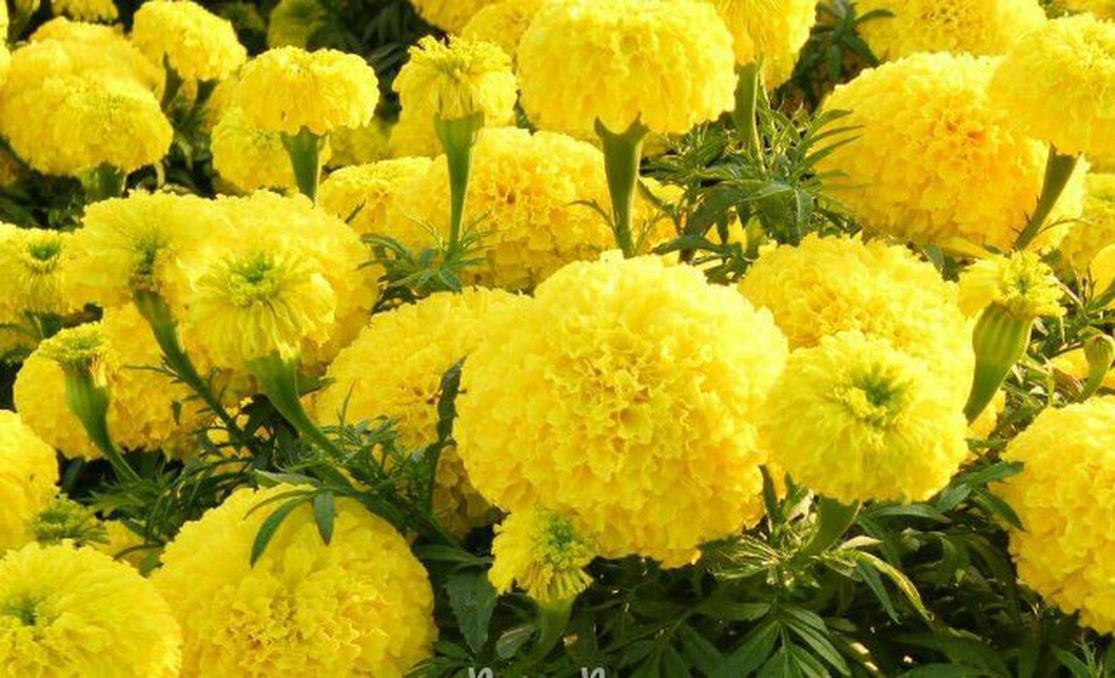 ดาวเรืองประดับพร้อมดอกสีเหลือง รูปที่ 1