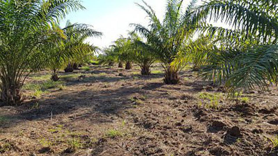 Sale Oil palm plantation at Phetchaboon about area 49,800 sq รูปที่ 2