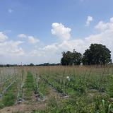ที่ดิน ปลูกมัน ทำสวน  26 ไร่ ยกแปลง ละ 2 แสนบาทต่อไร่