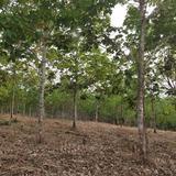 ขายที่ดิน สวนยางพารา 24-2-90 ไร่ ที่โฉนด  สหกรณ์นิคม ทองผาภูมิ  ขายไร่ล่ะ 250,000 บาท / 24-2-90 ไร่ เบอร์ 081-3403447