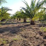 สวนปาล์ม อายุ 5 ปีพร้อมสวนเกษตรผสม ร่มรื่น มีแหล่งน้ำ  ที่ดิ