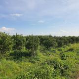 ด่วน ขายสวนส้มสายน้ำผึ้ง บ้านม่อนปิ่นใต้ ต.ม่อนปิ่น  อ.ฝาง  จ.เชียงใหม่