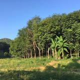 สวนยางพารา เหมาะสำหรับทำการเกษตร บ้านพัก ต.หาดพันไกร