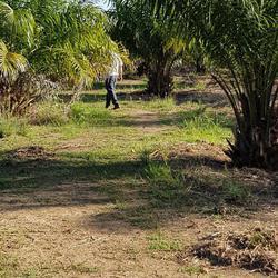 ขายสวนปาล์ม อายุ 5 ปีพร้อมสวนเกษตรผสม ร่มรื่น รูปเล็กที่ 3