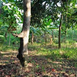 ขายสวนไร่พร้อมบ้านไม้เก่าติดลำคลอง ร่มรื่น ใกล้ถนนพุทธมณฑลสา รูปเล็กที่ 5