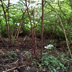 ให้เช่าที่ดินสภาพมีต้นไม้ปกคลุมเต็มติดถนนในซอย ร้อยวา เหมาะท รูปเล็กที่ 3