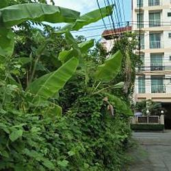 Rent land 404 sqm. closed road in the soi the tree covered s รูปเล็กที่ 4